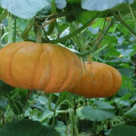 Pumpkins, The Glasshouses - Ballymaloe Cookery School